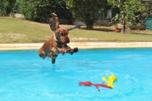 Cocker-Spaniel sprint in einen Pool