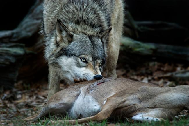 Wolf frisst seine erledigte Beute