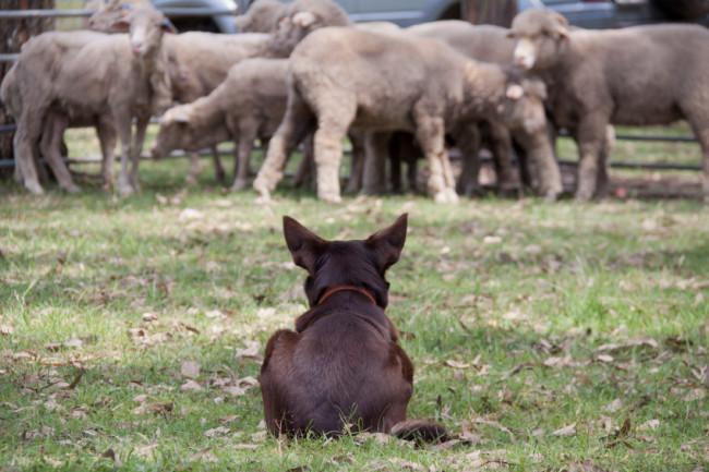 Schwarzer Schäferhund vor Schafherde