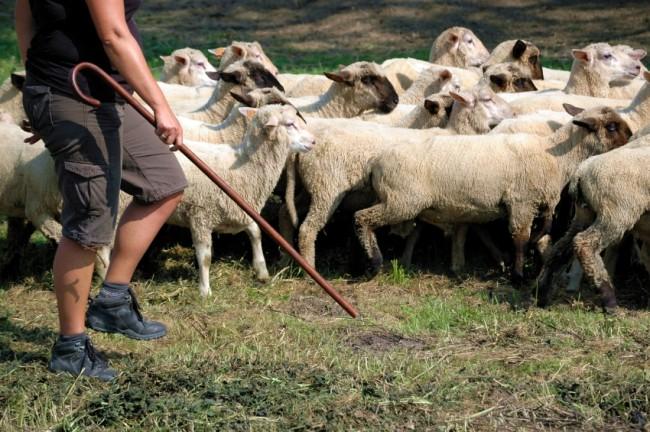 Schäfer mit Stab treibt Schafe an