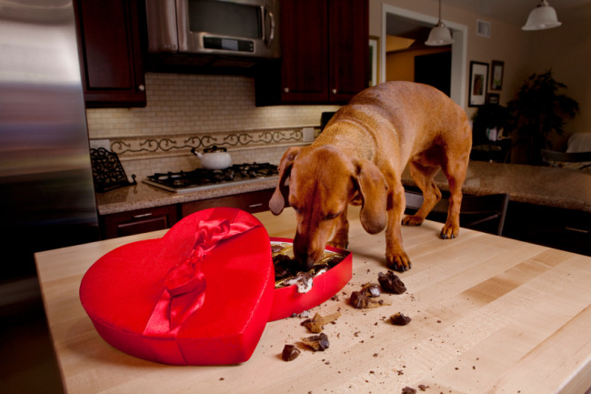 Hund frisst Pralinen