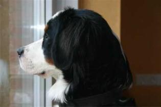 Berner Sennenhund am Fenster.
