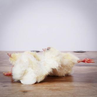 Eintagsküken, Züchterpackung 6 x 10 kg für Greifvögel